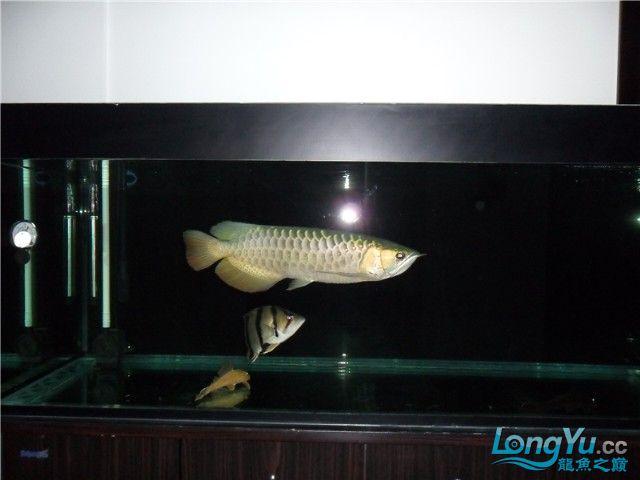【西安红木实木鱼缸】一年的龙鱼