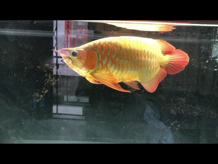 超级短身红龙 西安龙鱼论坛 西安博特第1张