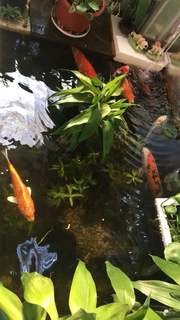早安锦鲤 西安观赏鱼信息