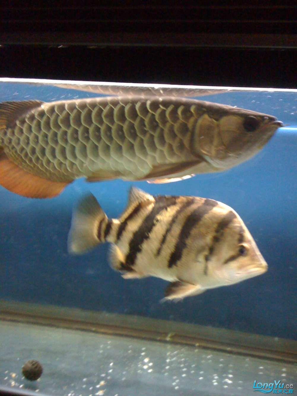 【西安朱巴利】我的小金 西安观赏鱼信息 西安博特第4张