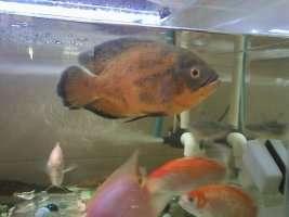 【西安鱼缸清洗】分享 西安观赏鱼信息 西安博特第1张