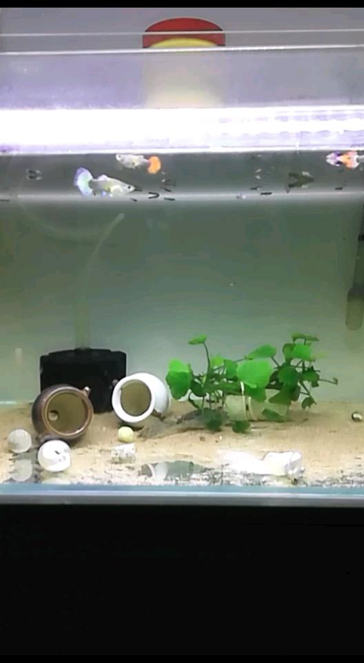 快生了鹦鹉鱼 西安观赏鱼信息
