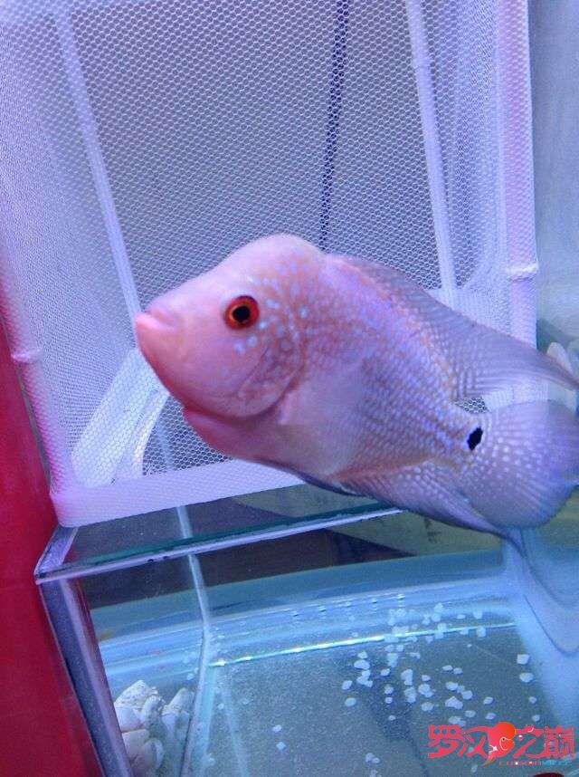 3个月了大概10厘米多没怎么起头大家帮忙看看 西安观赏鱼信息 西安博特第5张