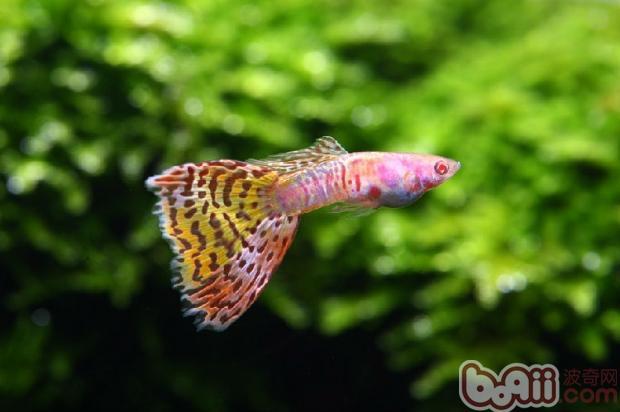 未满岁绿皮辣椒红龙 西安观赏鱼信息 西安博特第7张