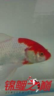 金鱼鱼鳃的地方长个红【西安哪个水族店有直纹飞凤鱼】色泡泡