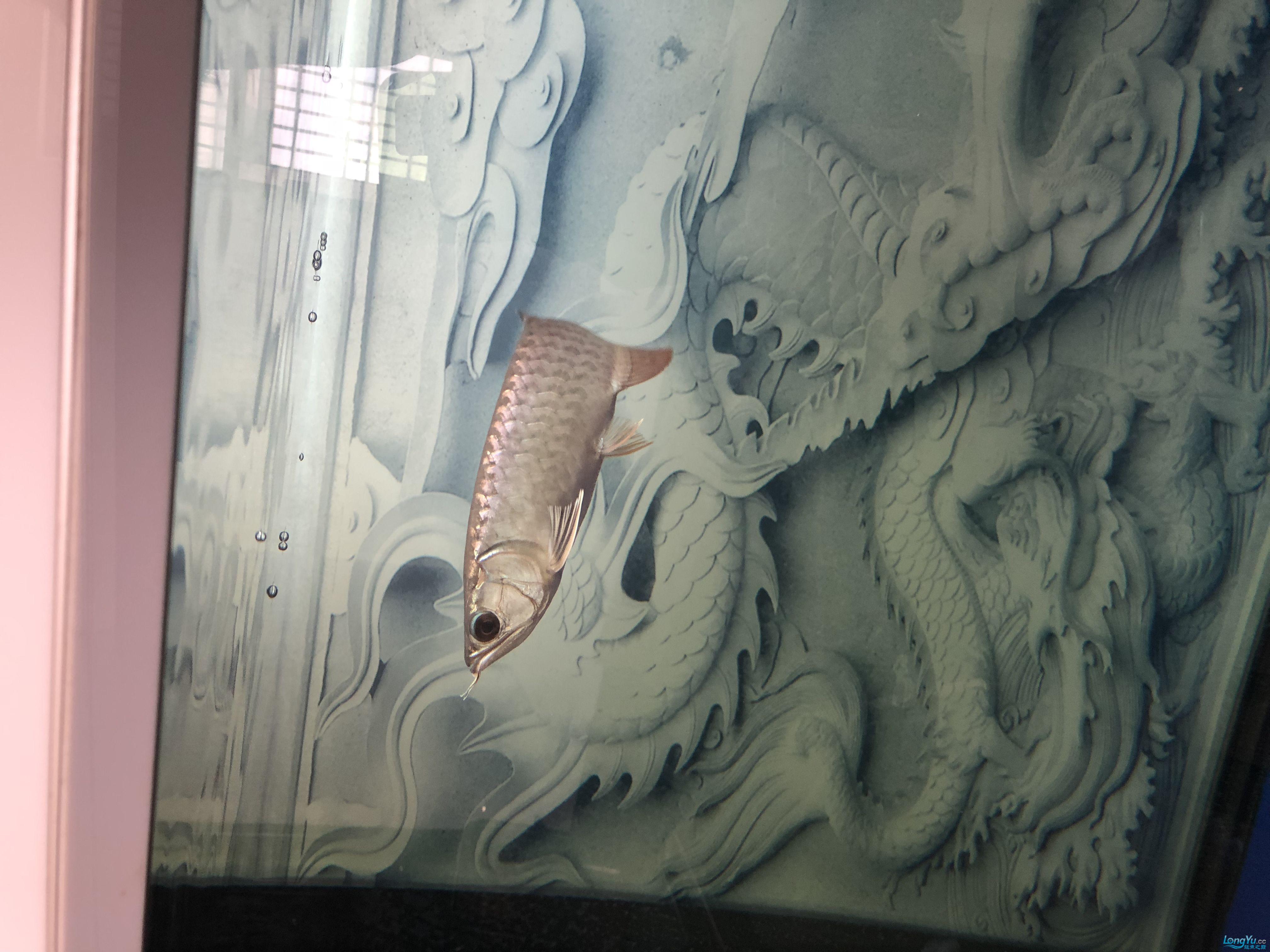 大神看看这是过背还是号半 西安龙鱼论坛 西安博特第5张