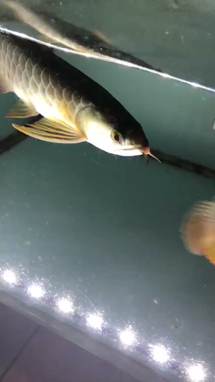 又来一条小可怜 西安观赏鱼信息 西安博特第1张