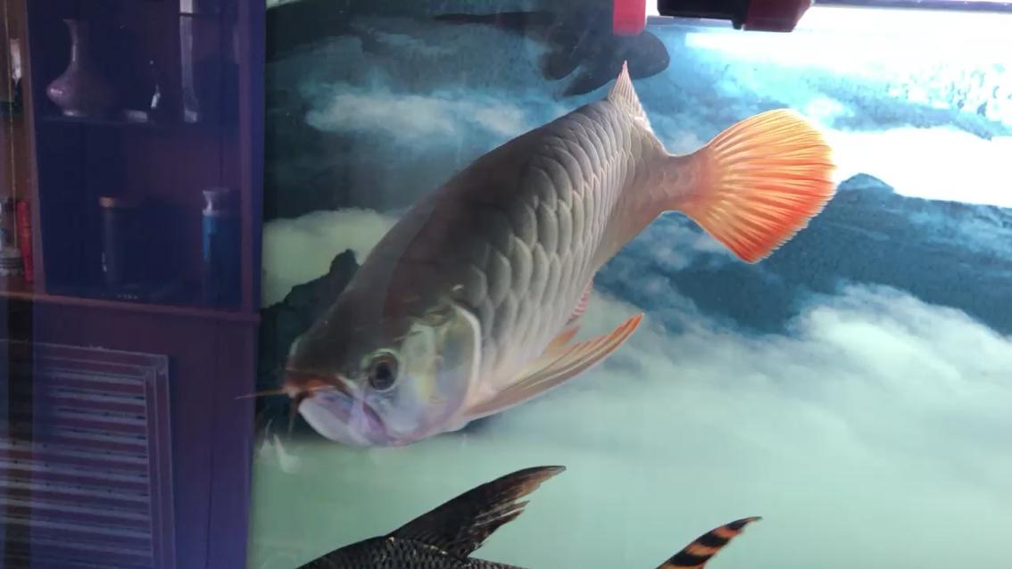 红龙入缸虎鱼 西安观赏鱼信息 西安博特第1张