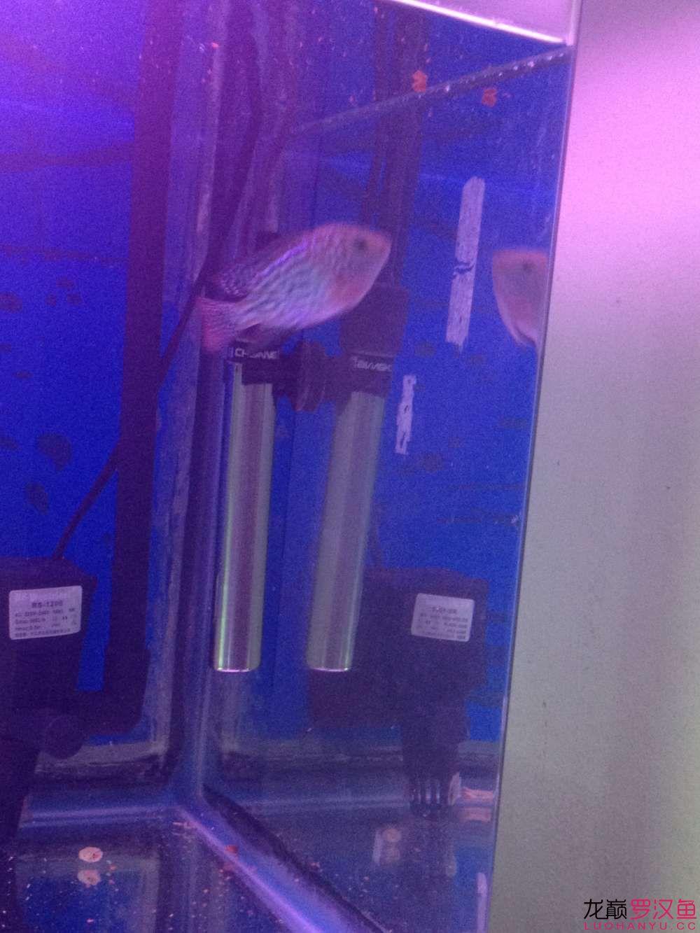 【西安哪个水族店有飞凤鱼】求判断这鱼苗有希望吗?? 西安观赏鱼信息 西安博特第2张