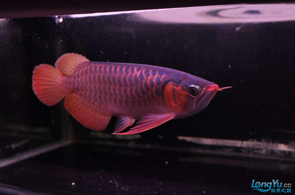 BD高清小红龙加精 西安观赏鱼信息 西安博特第2张