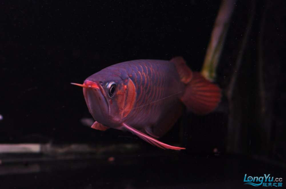 BD高清小红龙加精 西安观赏鱼信息 西安博特第5张
