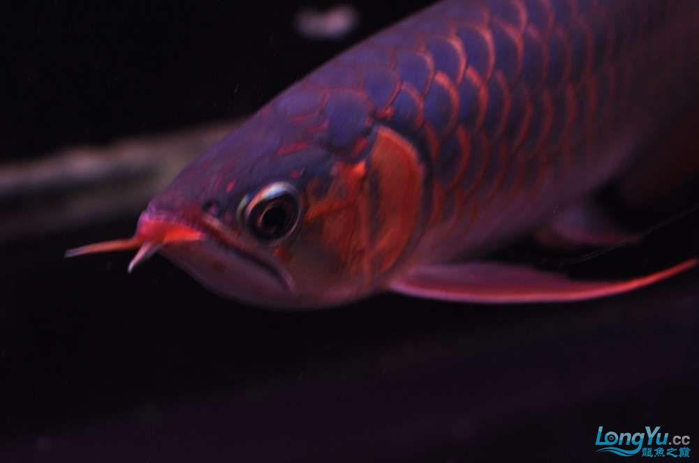 BD高清小红龙加精 西安观赏鱼信息 西安博特第3张