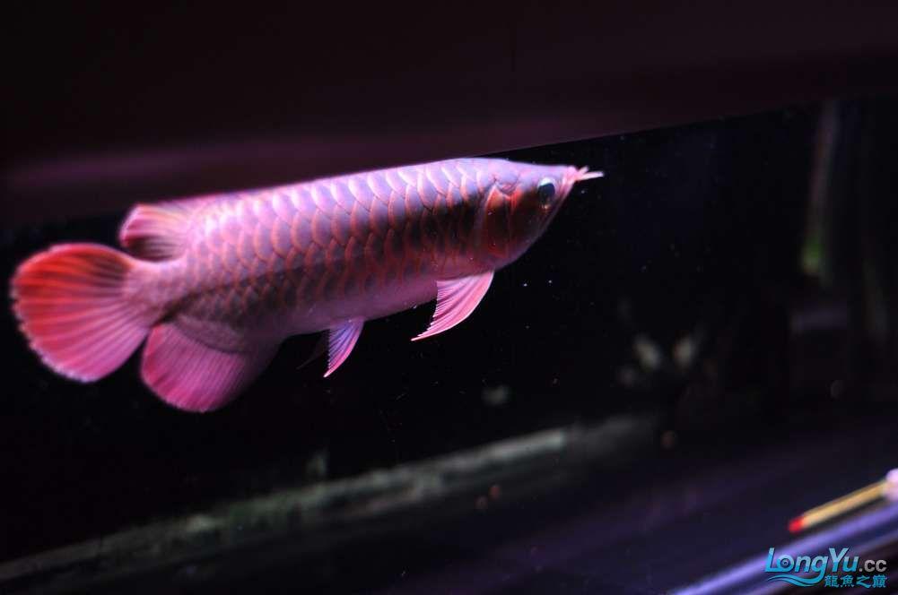 BD高清小红龙加精 西安观赏鱼信息 西安博特第8张