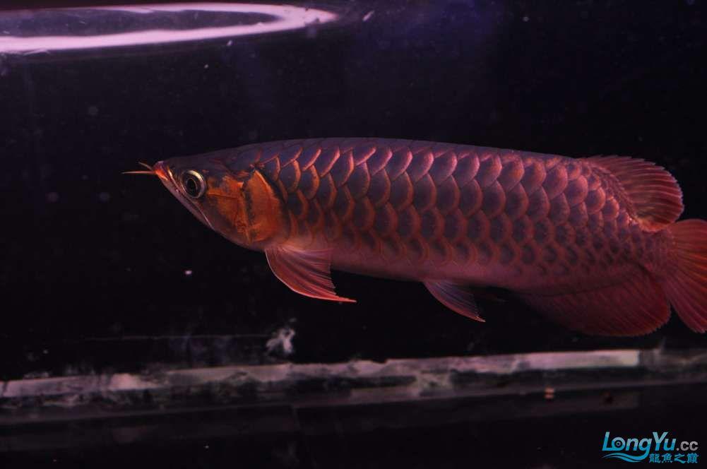 BD高清小红龙加精 西安观赏鱼信息 西安博特第6张