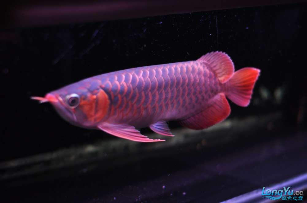 BD高清小红龙加精 西安观赏鱼信息 西安博特第9张