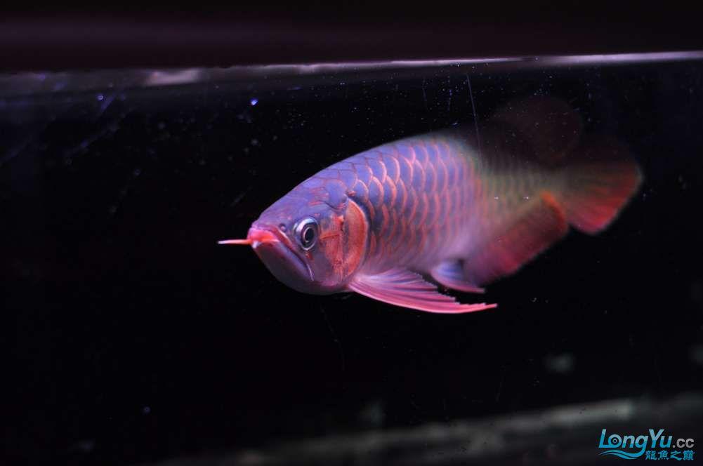 BD高清小红龙加精 西安观赏鱼信息 西安博特第11张