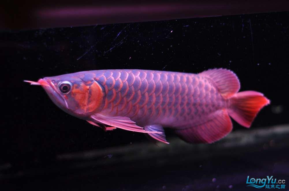 BD高清小红龙加精 西安观赏鱼信息 西安博特第13张