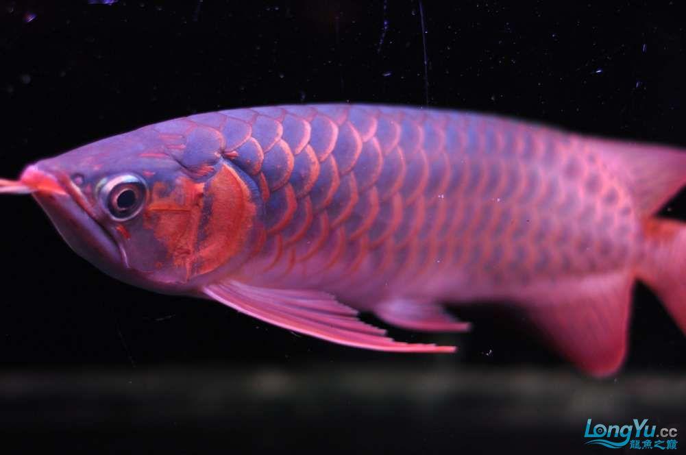 BD高清小红龙加精 西安观赏鱼信息 西安博特第14张