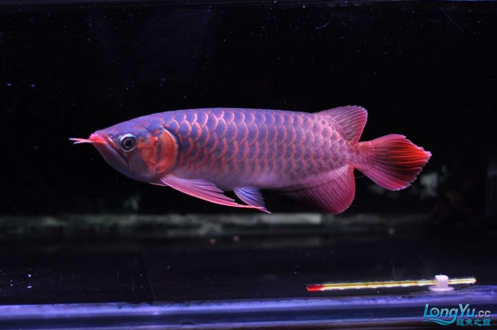 BD高清小红龙加精 西安观赏鱼信息 西安博特第15张