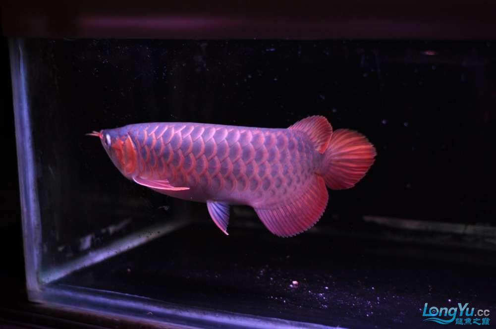 BD高清小红龙加精 西安观赏鱼信息 西安博特第18张