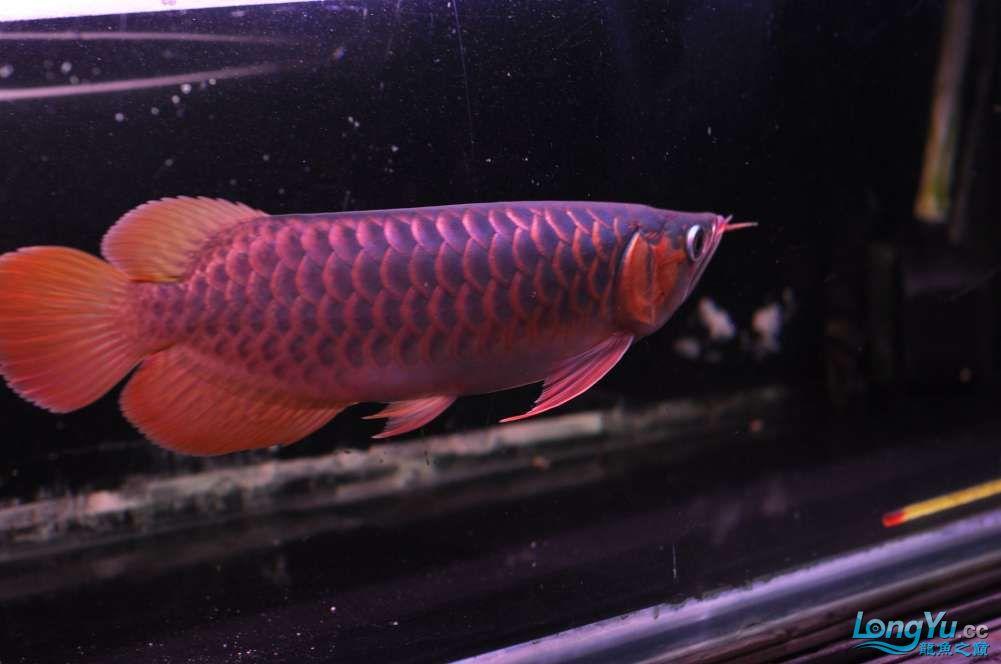 BD高清小红龙加精 西安观赏鱼信息 西安博特第19张