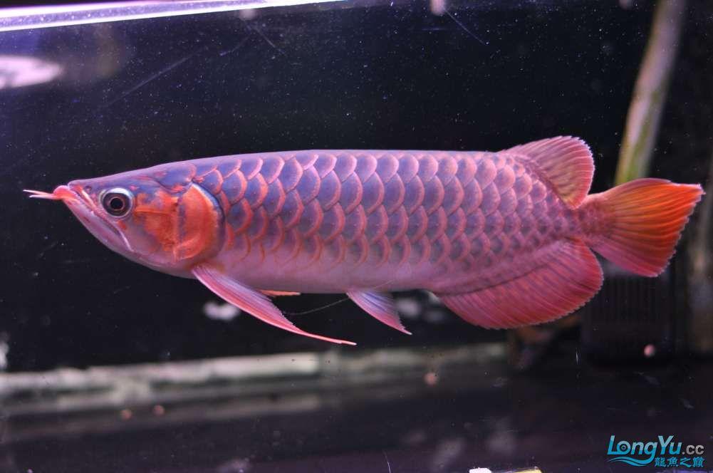 BD高清小红龙加精 西安观赏鱼信息 西安博特第23张