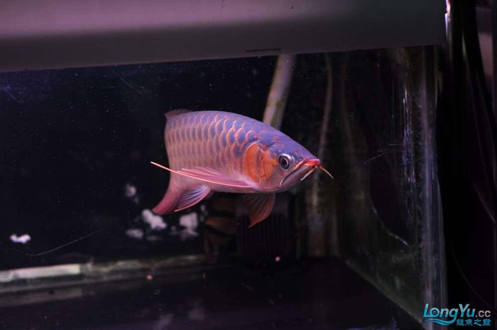 BD高清小红龙加精 西安观赏鱼信息 西安博特第21张