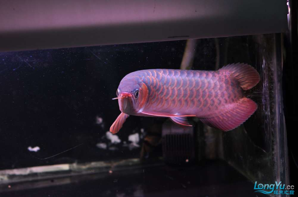 BD高清小红龙加精 西安观赏鱼信息 西安博特第22张