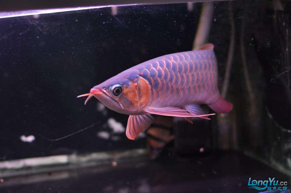 BD高清小红龙加精 西安观赏鱼信息 西安博特第24张