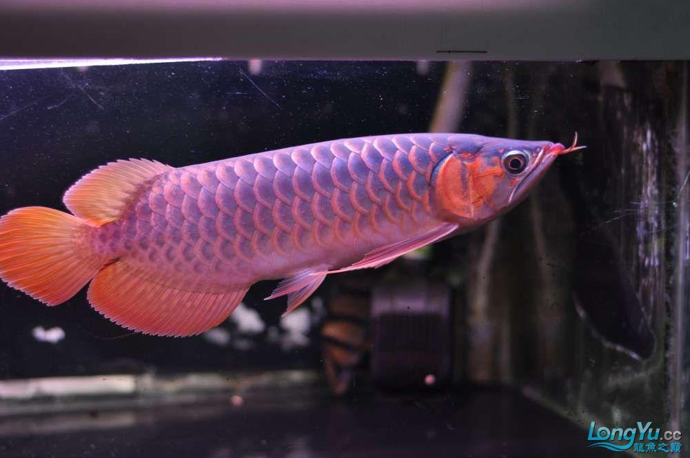 BD高清小红龙加精 西安观赏鱼信息 西安博特第25张