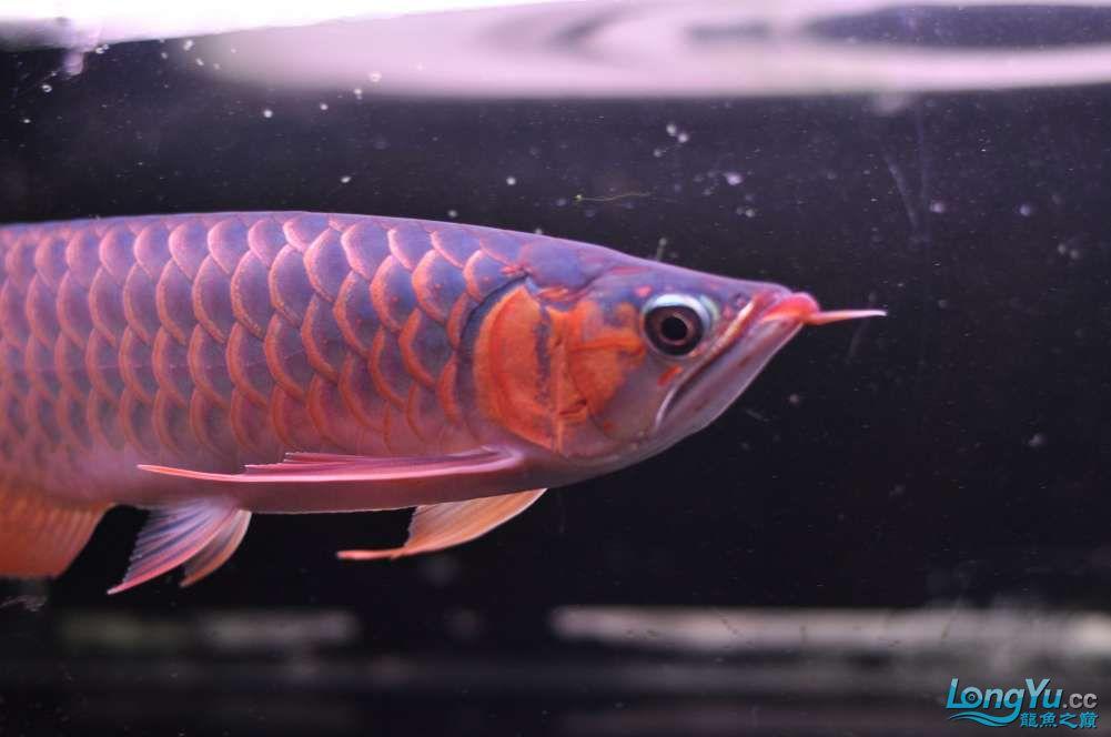 BD高清小红龙加精 西安观赏鱼信息 西安博特第28张