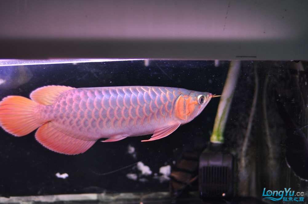 BD高清小红龙加精 西安观赏鱼信息 西安博特第31张