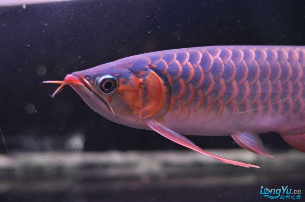 BD高清小红龙加精 西安观赏鱼信息 西安博特第30张