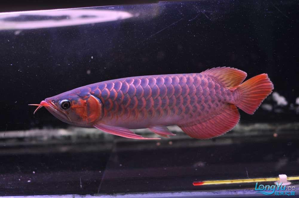 BD高清小红龙加精 西安观赏鱼信息 西安博特第39张