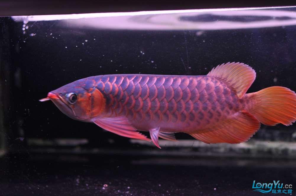 BD高清小红龙加精 西安观赏鱼信息 西安博特第37张