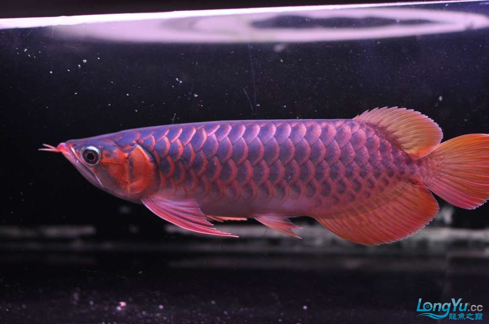 BD高清小红龙加精 西安观赏鱼信息 西安博特第38张