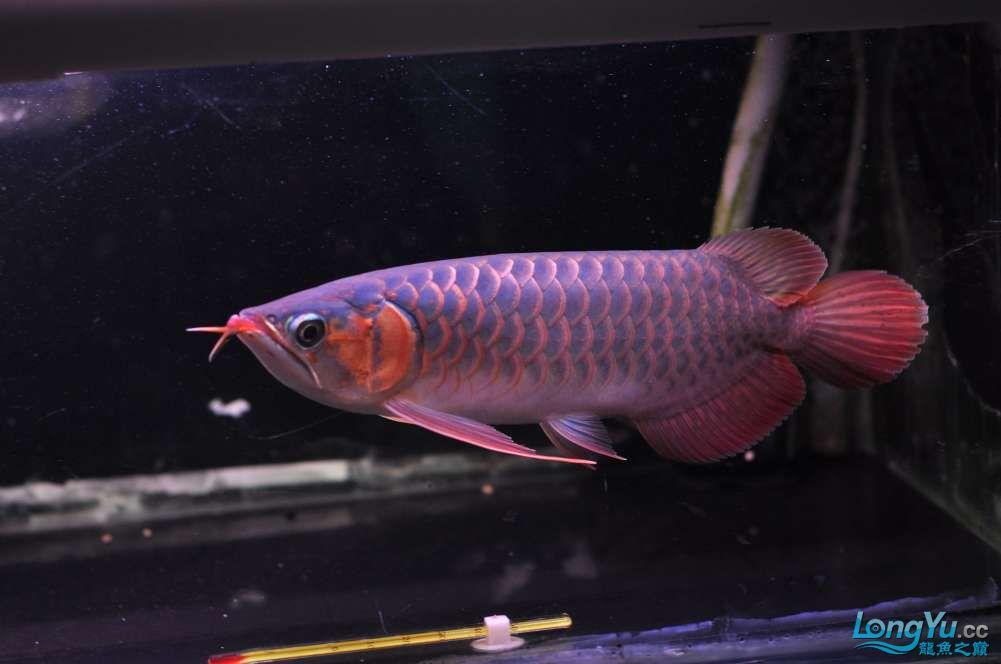 BD高清小红龙加精 西安观赏鱼信息 西安博特第42张