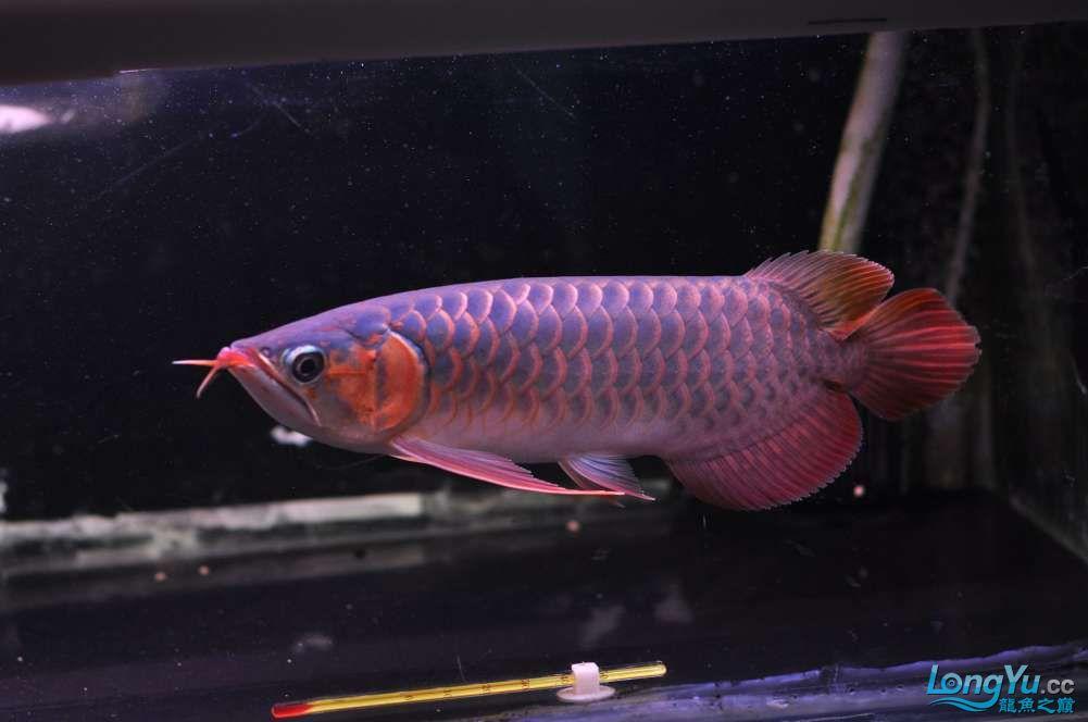 BD高清小红龙加精 西安观赏鱼信息 西安博特第41张