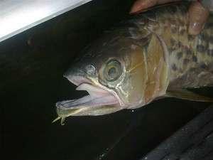 【西安花鸟鱼市】龙鱼蛋你们见过没?速来围观啦解剖给大家欣赏(更新) 西安观赏鱼信息 西安博特第2张