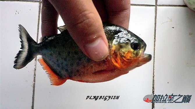 屁颠屁颠的跟来吧有你没有见过高清水虎加拉辛图 西安观赏鱼信息 西安博特第3张