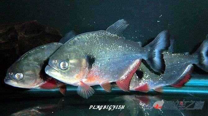 屁颠屁颠的跟来吧有你没有见过高清水虎加拉辛图 西安观赏鱼信息 西安博特第4张