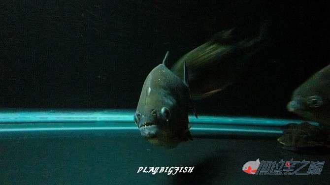 屁颠屁颠的跟来吧有你没有见过高清水虎加拉辛图 西安观赏鱼信息 西安博特第5张