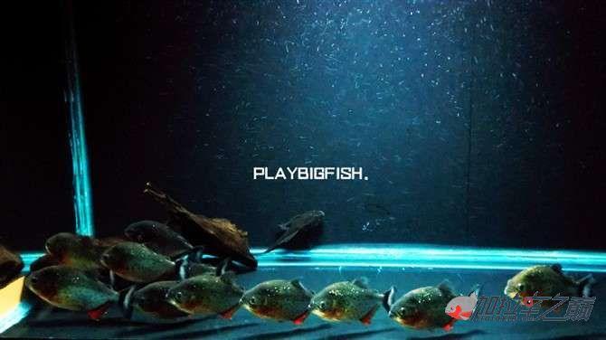 屁颠屁颠的跟来吧有你没有见过高清水虎加拉辛图 西安观赏鱼信息 西安博特第9张