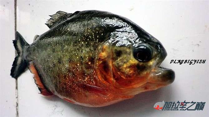 屁颠屁颠的跟来吧有你没有见过高清水虎加拉辛图 西安观赏鱼信息 西安博特第8张