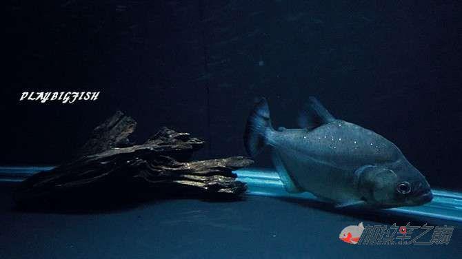 屁颠屁颠的跟来吧有你没有见过高清水虎加拉辛图 西安观赏鱼信息 西安博特第7张