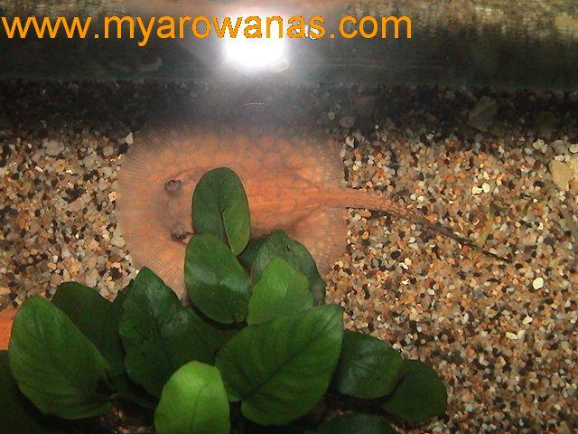 玉汇阁锦鲤