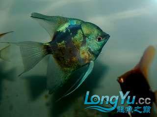 超高的蓝色魔鬼神仙 西安观赏鱼信息 西安博特第1张