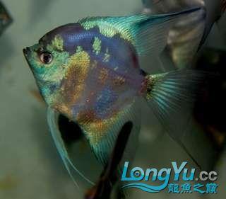 超高的蓝色魔鬼神仙 西安观赏鱼信息 西安博特第3张
