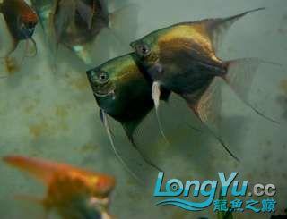 超高的蓝色魔鬼神仙 西安观赏鱼信息 西安博特第4张