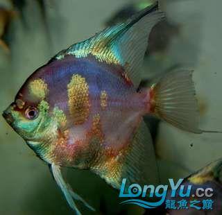 超高的蓝色魔鬼神仙 西安观赏鱼信息 西安博特第2张